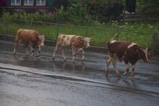 Cow-Parade-1