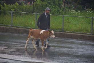 Cow-Parade-2