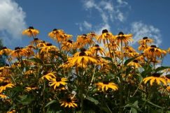 black eyed susans 2