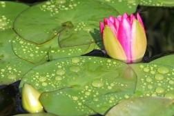 Budding Lily