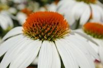 Closeup Cone Flower