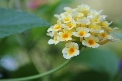 Dainty Blossoms