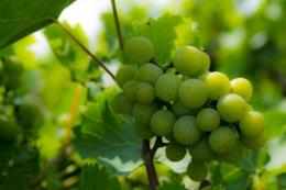 Soft Grapes