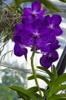 Vivid Violet Orchid