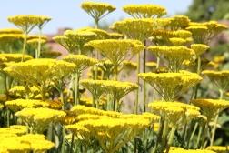 yellow flower1