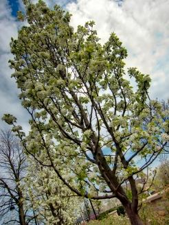 Flowering Trees Along the Riverwalk