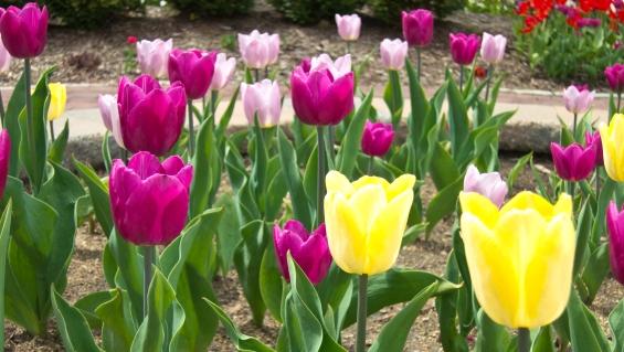 Tulips on the Riverwalk