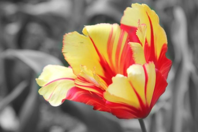 yellow tulip2