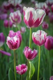 Bi-colored tulips in the garden.